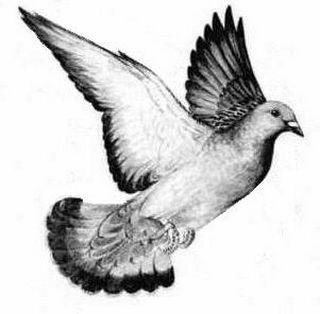 pigeon-c